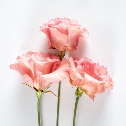 Bloom - Dusky Pink Lisianthus