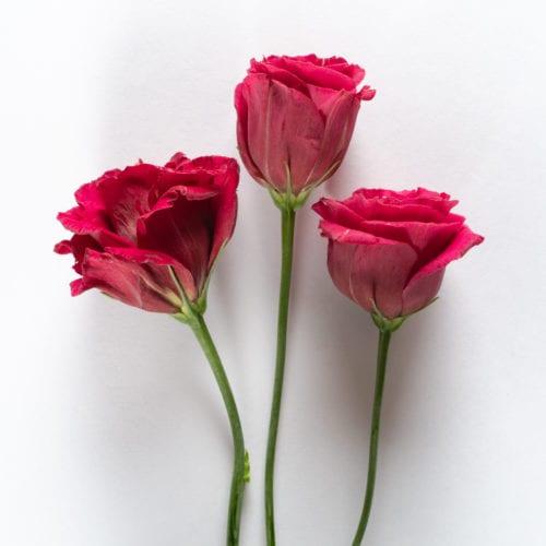 Bloom - Raspberry Red Lisianthus