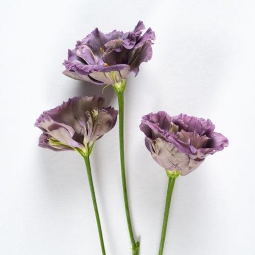 Bloom - Purple Velvet Lisianthus