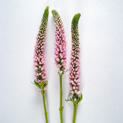 Bloom - Ballet Slippers Pink Veronica
