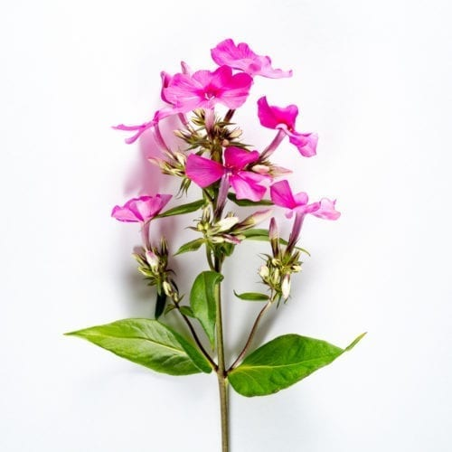 Bloom - Cerise Pink Phlox