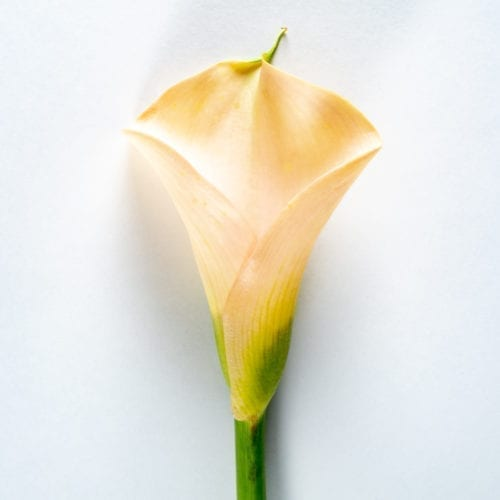 Bloom - Ballet Slippers Pink Calla Lily