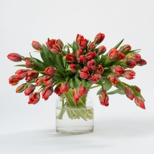 Subscription Flower for the Week - Red Parrot Tulips