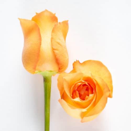 Bloom - Tangerine Orange Rose