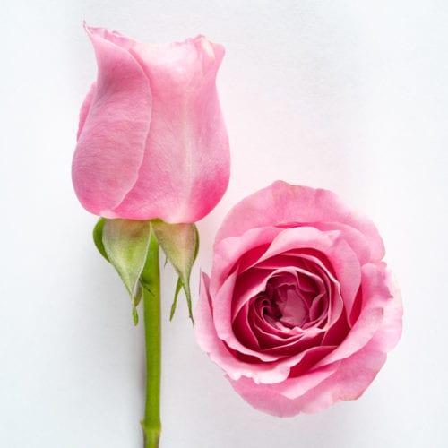 Bloom - Cerise Pink Rose