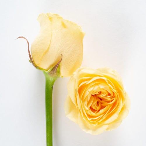 Bloom - Light Yellow Rose