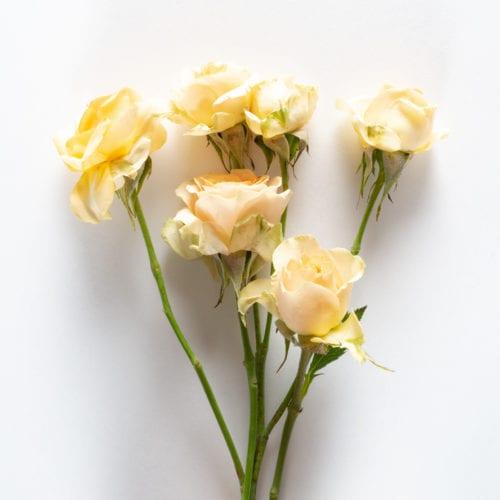 Bloom - Peach Bellini Spray Rose
