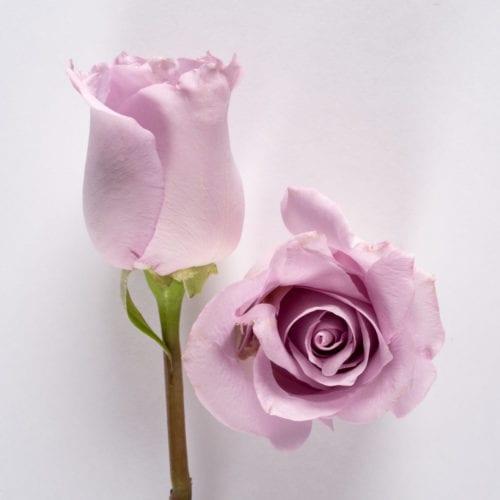 Bloom - Memory Lane Rose
