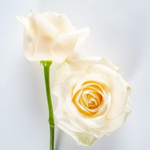 Bloom - Four Seasons Rose