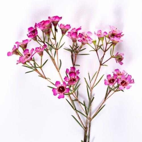 Bloom - Berry Pink Waxflower