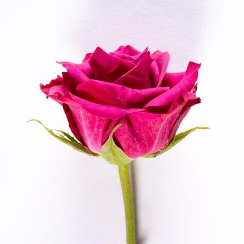 Bloom - Hot Pink Rose