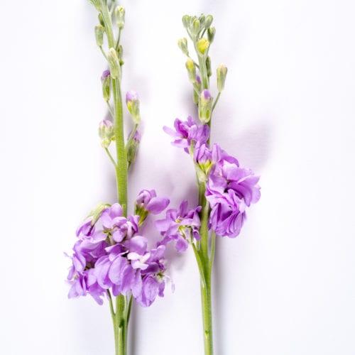 Bloom - Lavender Mist Stock