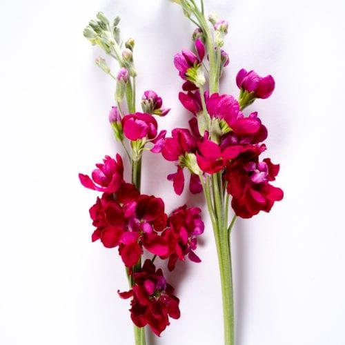 Bloom - Raspberry Red Stock
