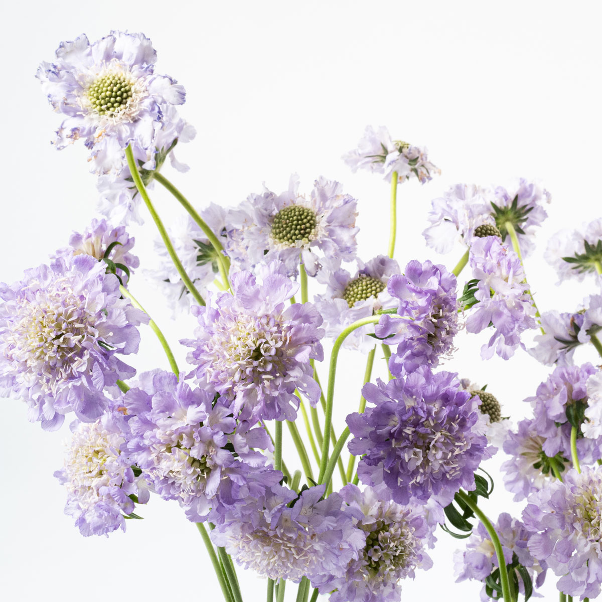 Bloom Flower Delivery | Lilac Scabiosa