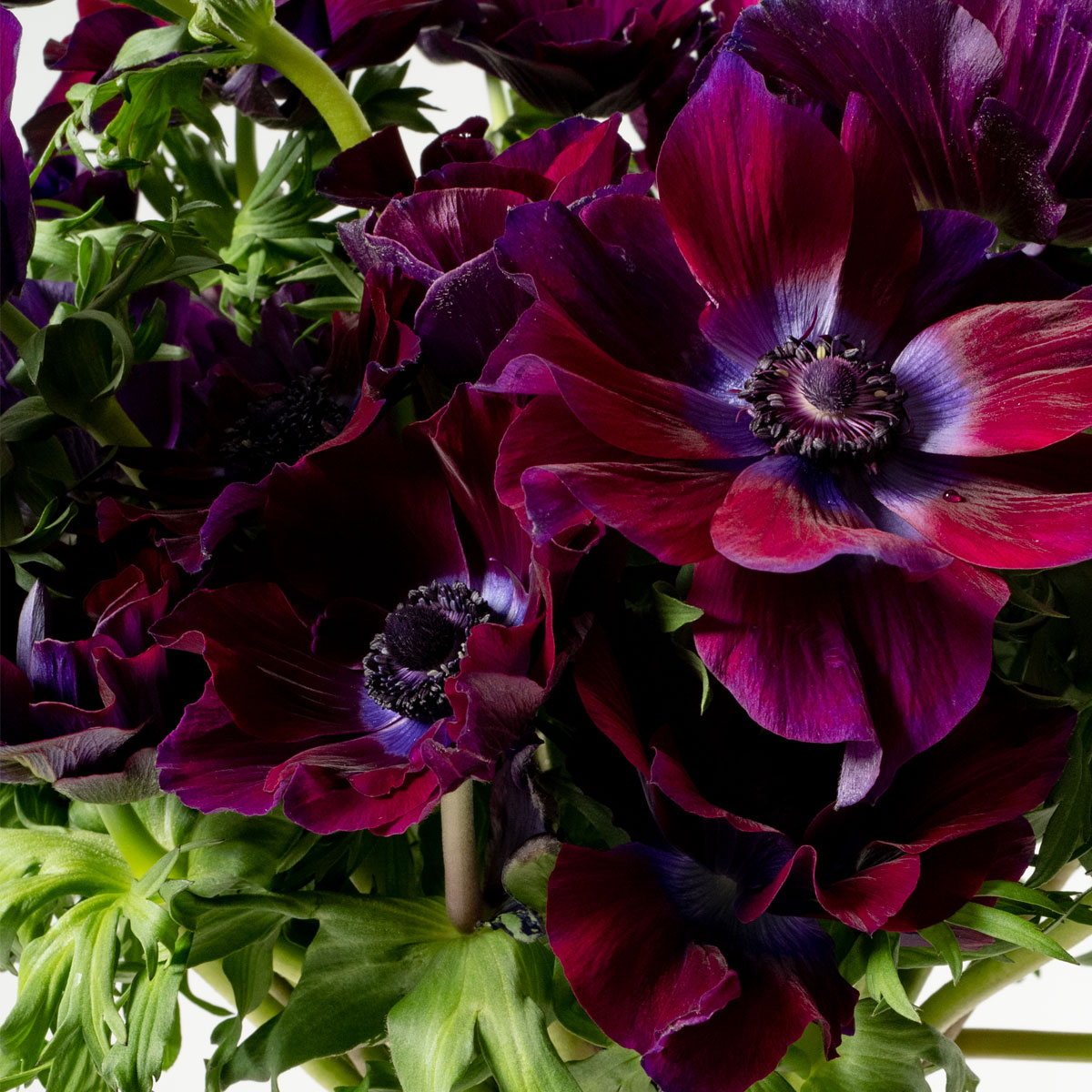 Bloom Flower Delivery | Purple Velvet Anemones