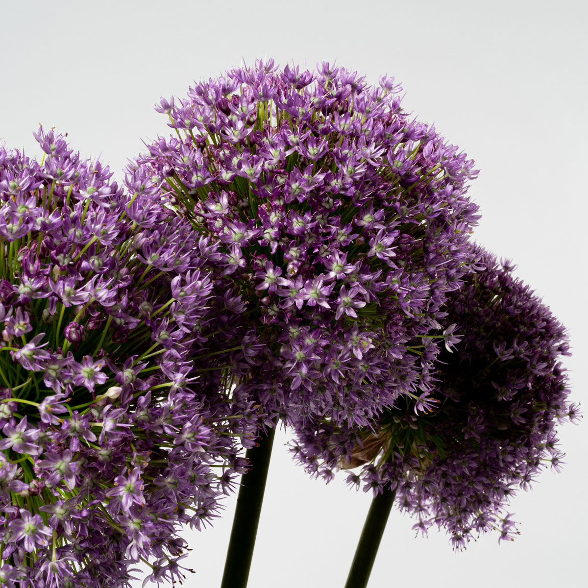 Bloom Flower Delivery | Royal Purple Allium