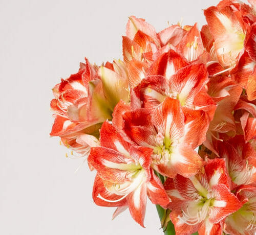 Amaryllis - Send cut to order, luxury peony flowers direct from the growers and delivered by UK's first online florist to be entirely sustainable and 100% plastic-free.