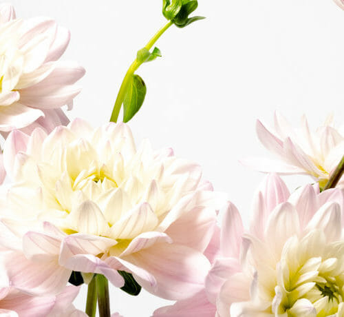 Dahlia - Send cut to order, luxury peony flowers direct from the growers and delivered by UK's first online florist to be entirely sustainable and 100% plastic-free.