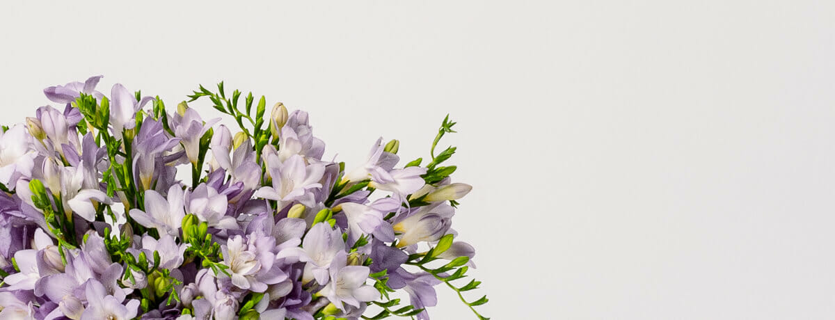 Freesia - Send cut to order, luxury peony flowers direct from the growers and delivered by UK's first online florist to be entirely sustainable and 100% plastic-free.