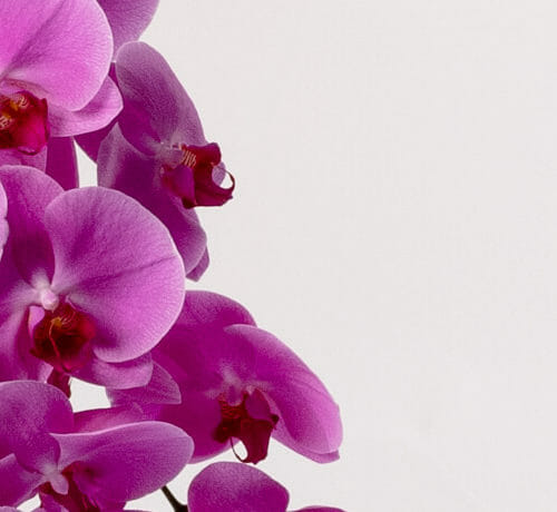 Phalaenopsis Orchids - Send cut to order, luxury peony flowers direct from the growers and delivered by UK's first online florist to be entirely sustainable and 100% plastic-free.