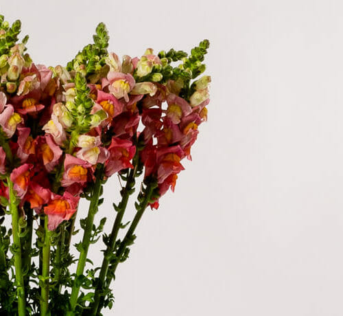Snapdragons - Send cut to order, luxury peony flowers direct from the growers and delivered by UK's first online florist to be entirely sustainable and 100% plastic-free.